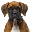 Picture of BRINDLE BOXER