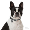Picture of BOSTON TERRIER
