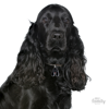 Picture of BLACK ENGLISH COCKER