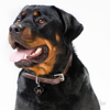 Picture of ADULT ROTTWEILER