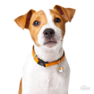 Picture of WHITE AND BROWN JACK RUSSELL
