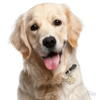 Picture of GOLDEN RETRIEVER