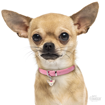 Picture of CREAM CHIHUAHUA